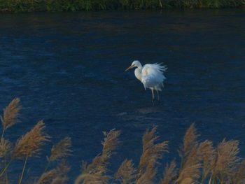 egret-u.jpg