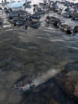 the body of a salmon-u.jpg